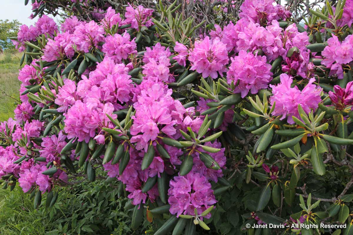 Rhododendron catawbiense-Craggy Gardens