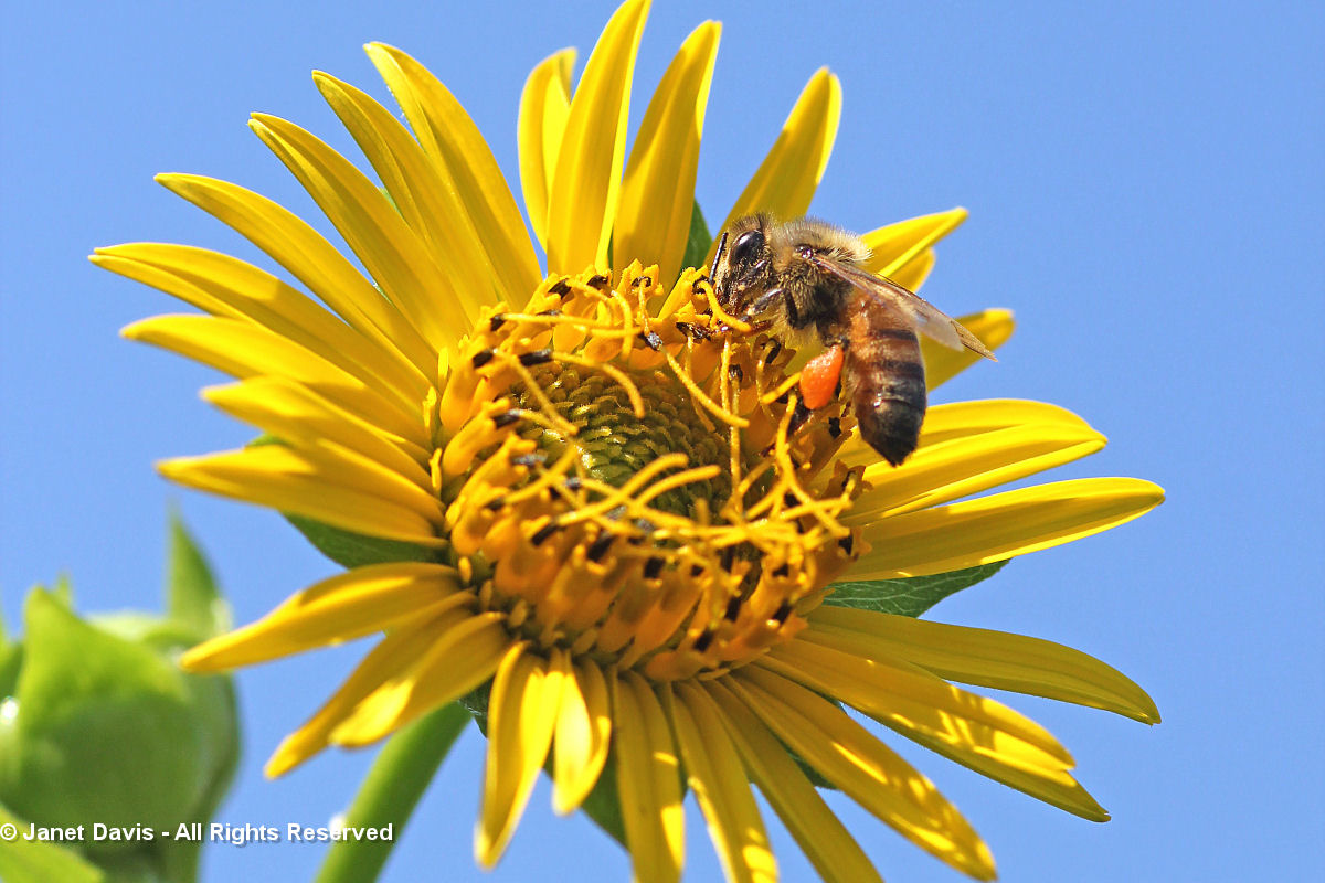 Honey Bee on Silphium perfoliatum