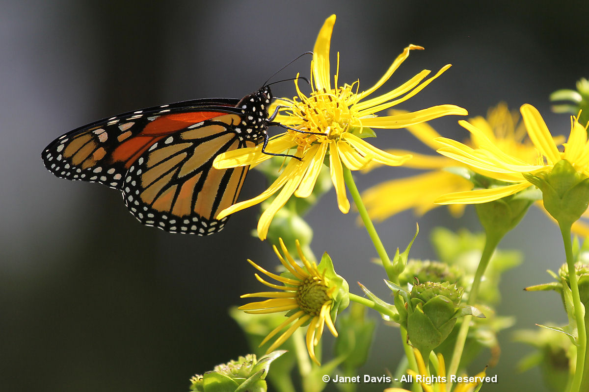 Monarch on Silphium perfoliatum (1)