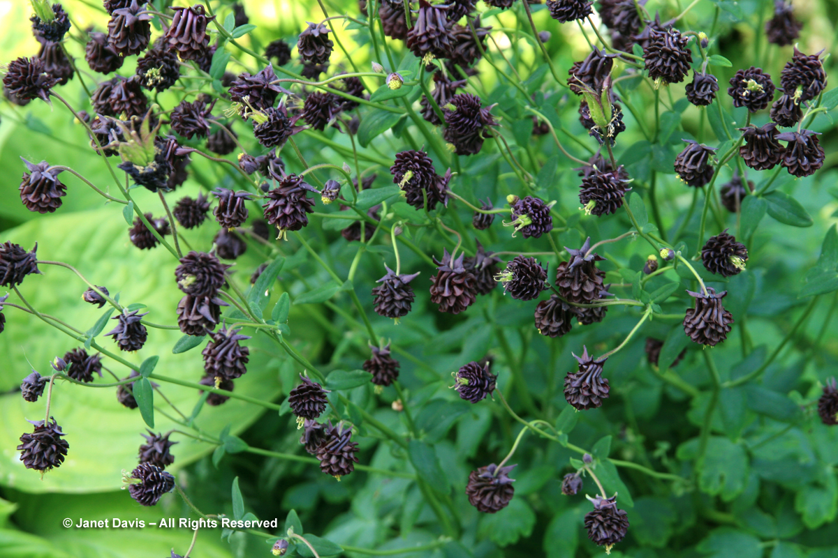 Aquilegia vulgaris 'Black Barlow'2