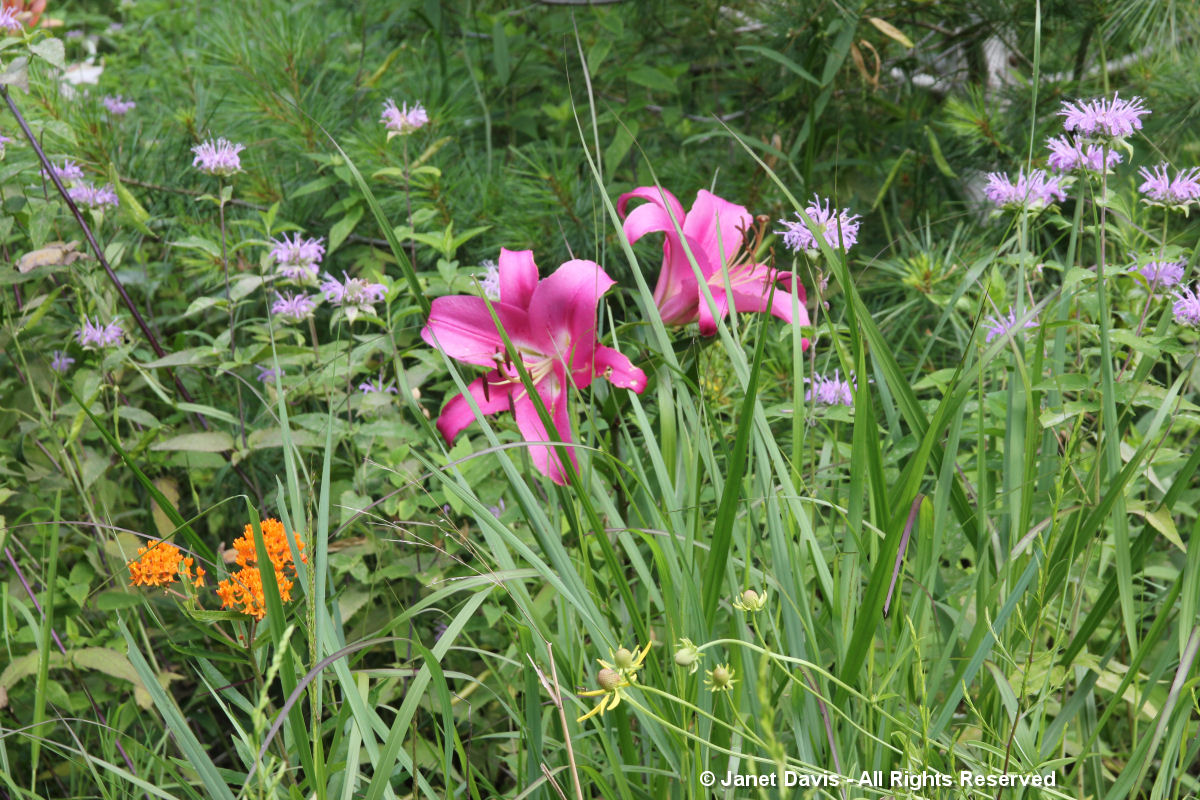 Asclepias tuberosa & Lily & Monarda