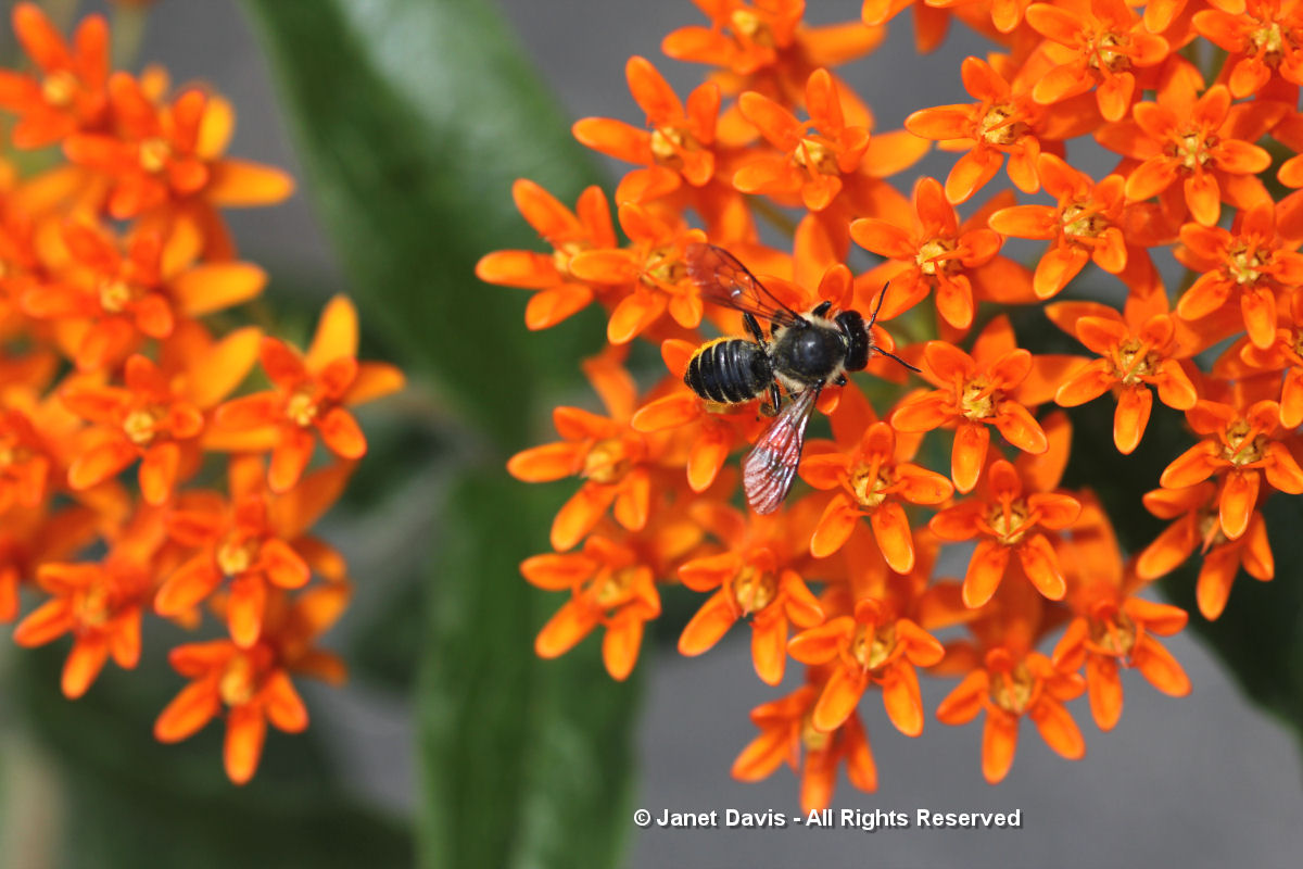 Asclepias tuberosa-Megachile
