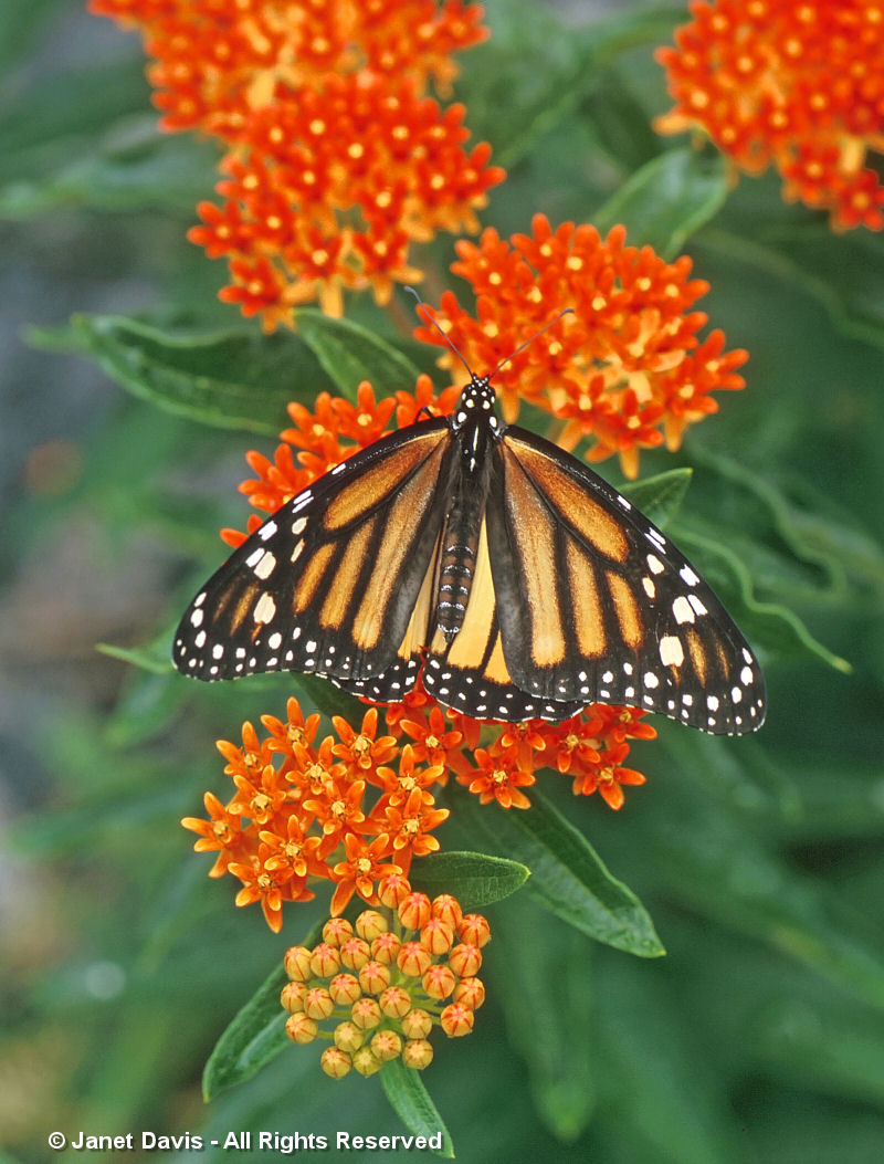 Asclepias tuberosa-Monarch butterfly