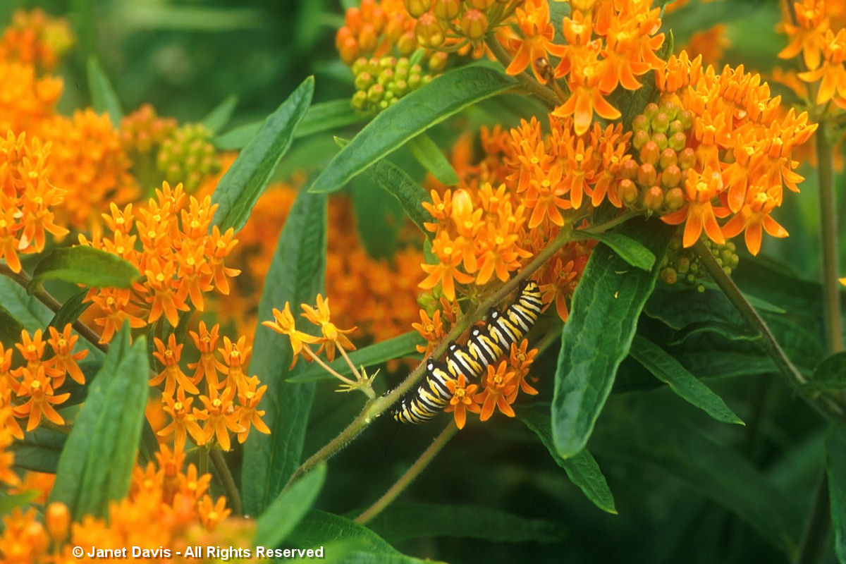 Asclepias tuberosa-Monarch caterpillar