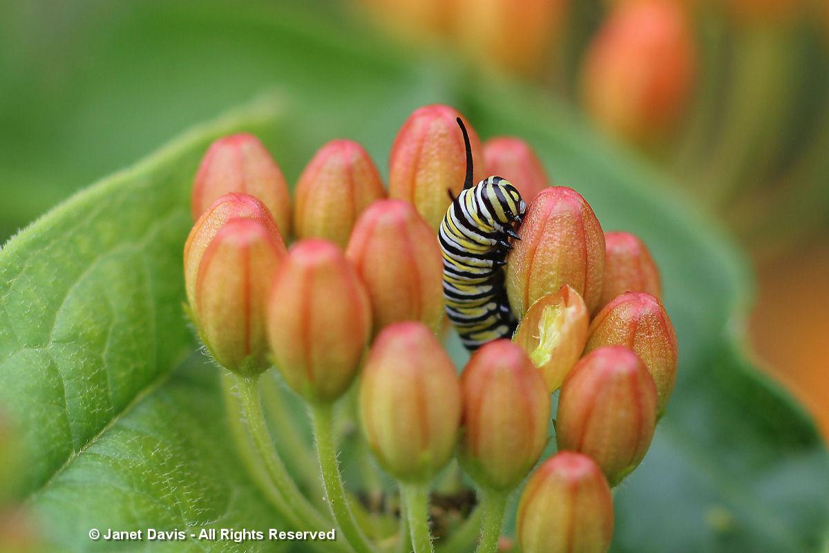 Asclepias tuberosa-Monarch larva