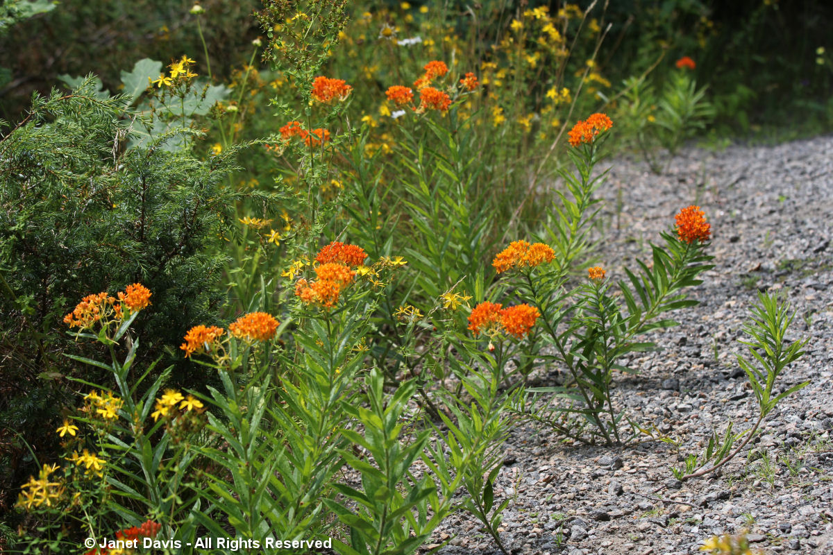 Asclepias tuberosa-growing in gravel