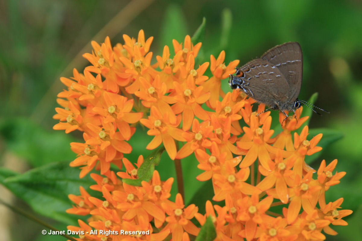 Asclepias tuberosa- hairstreak