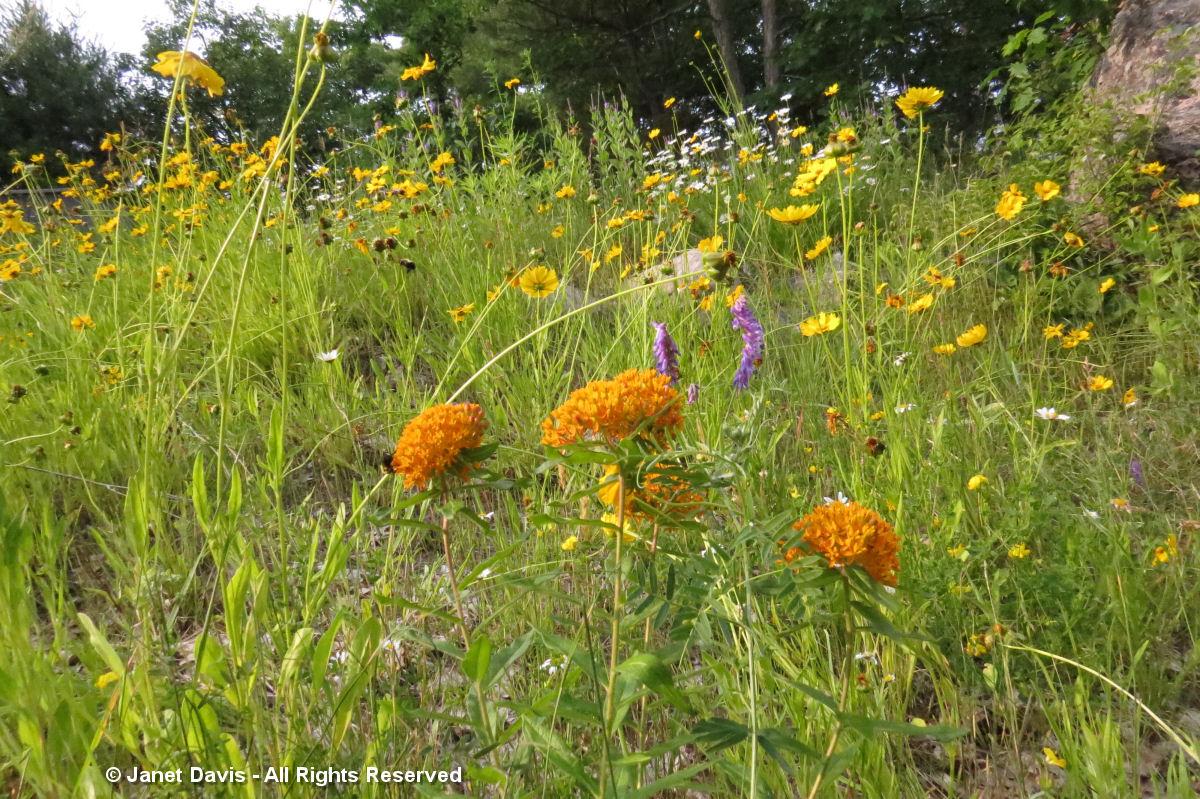 Asclepias tuberosa-wild planting