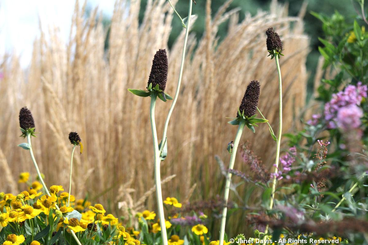 Black Seedheads-Rudbeckia maxima