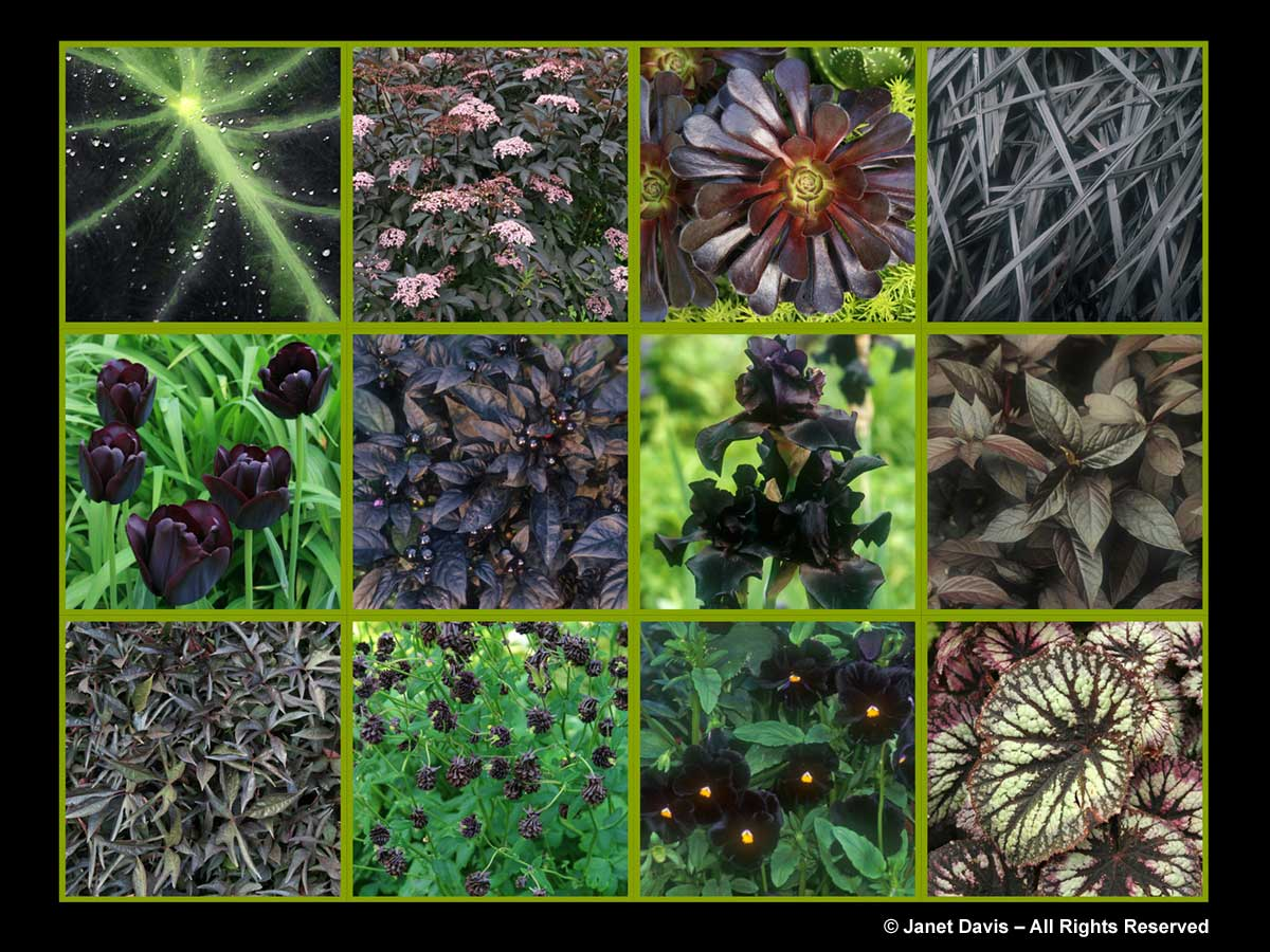 Black flowers & leaves-The Paintbox Garden