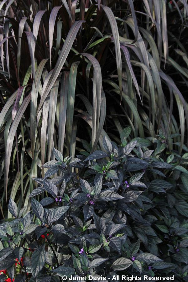 Capsicum 'Black Pearl' & Pennisetum 'Princess Caroline'