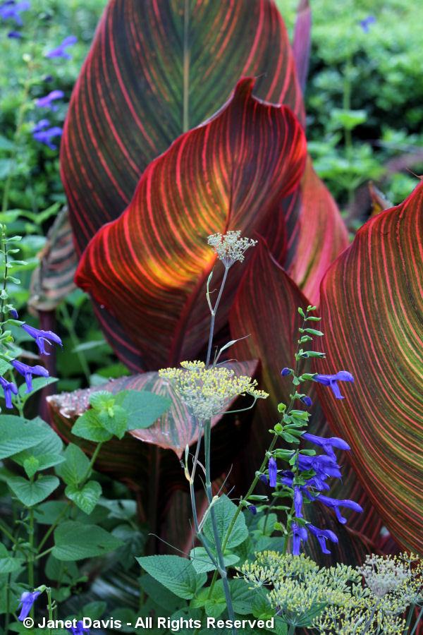 Conservatory Garden-Canna