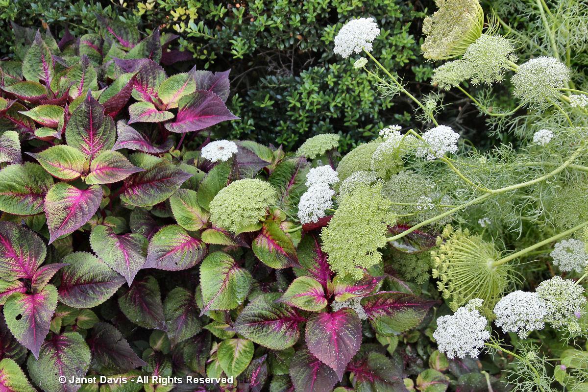 Conservatory Garden-Coleus & Ammi
