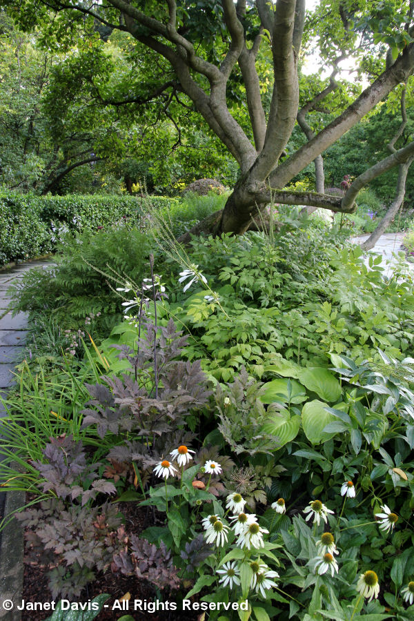 Conservatory Garden-Echinacea & Hostas