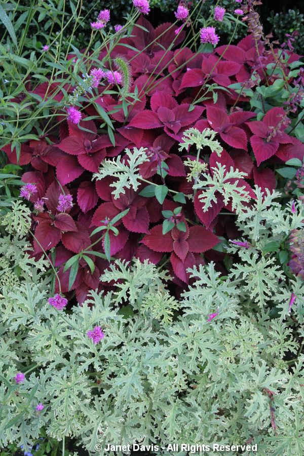 Conservatory Garden-Gomphrena-Centaurea-Salvia-Coleus