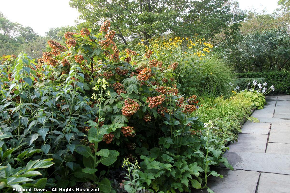 Conservatory Garden-Oakleaf Hydrangea