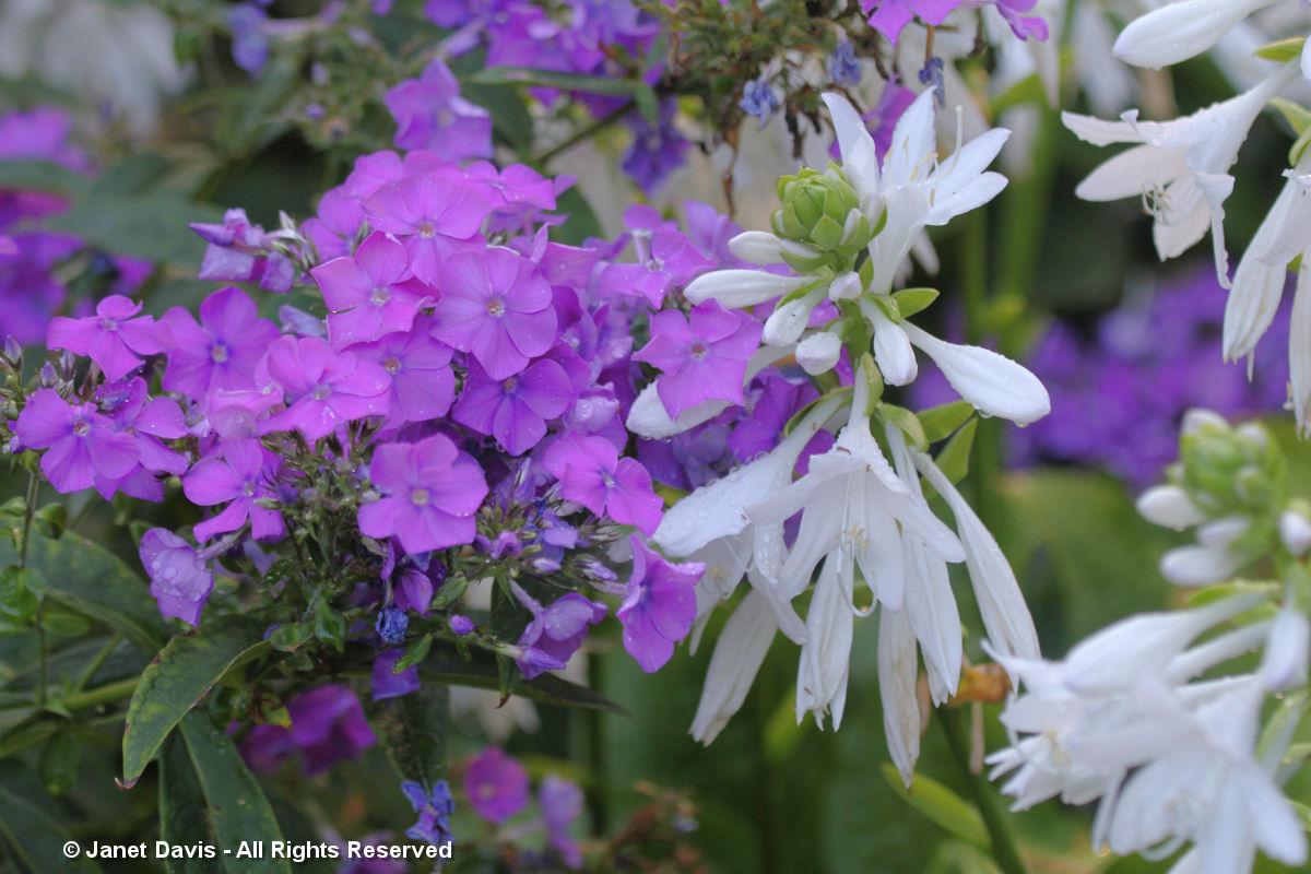Conservatory Garden-Phlox & Hosta