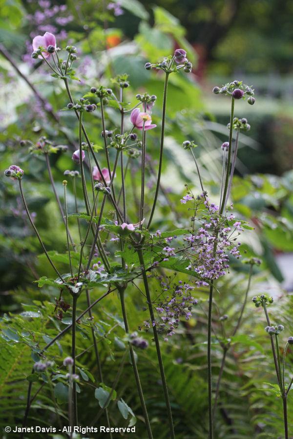 Conservatory Garden-Thalictrum & Anemone