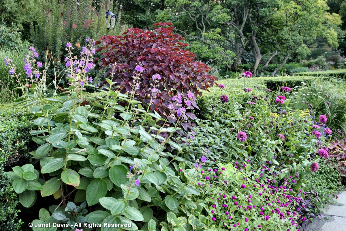Conservatory Garden-Tibouchina