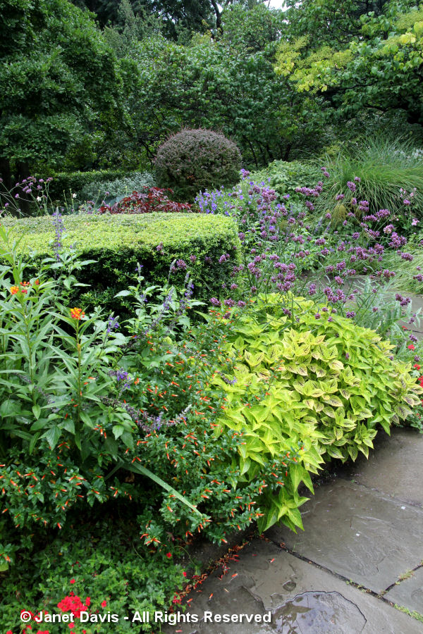 Conservatory Garden-Verbena-Coleus