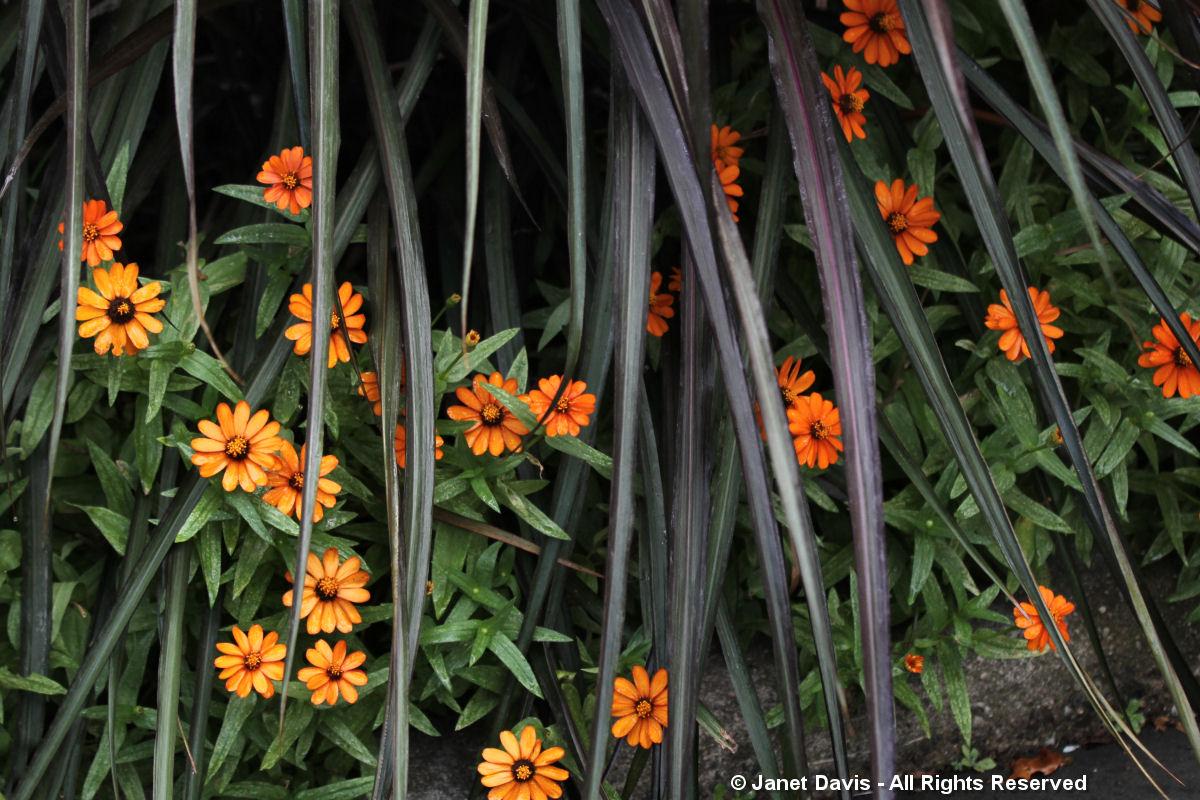 Conservatory Garden-Zinnia & Pennisetum 'Vertigo'