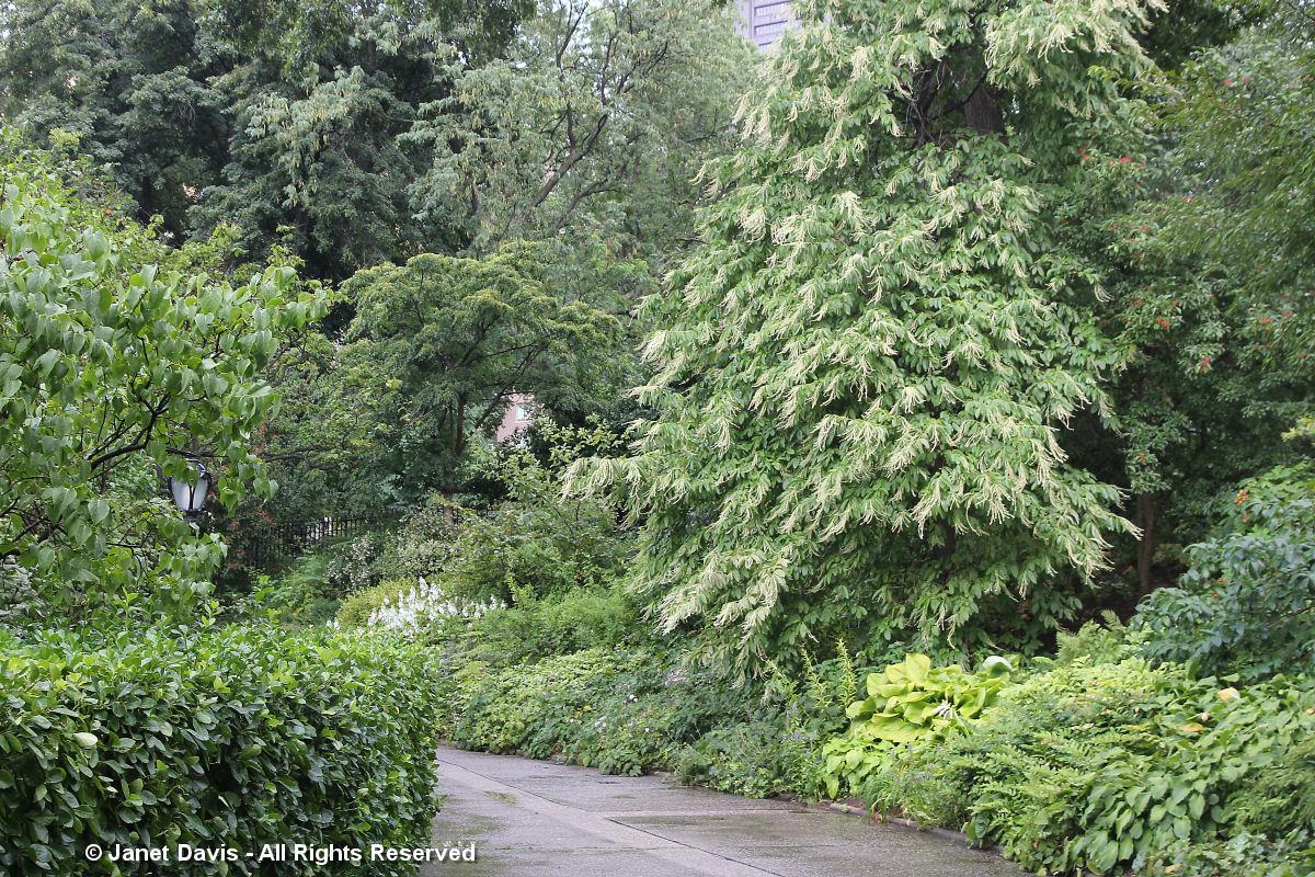 Conservatory garden-Sourwood tree