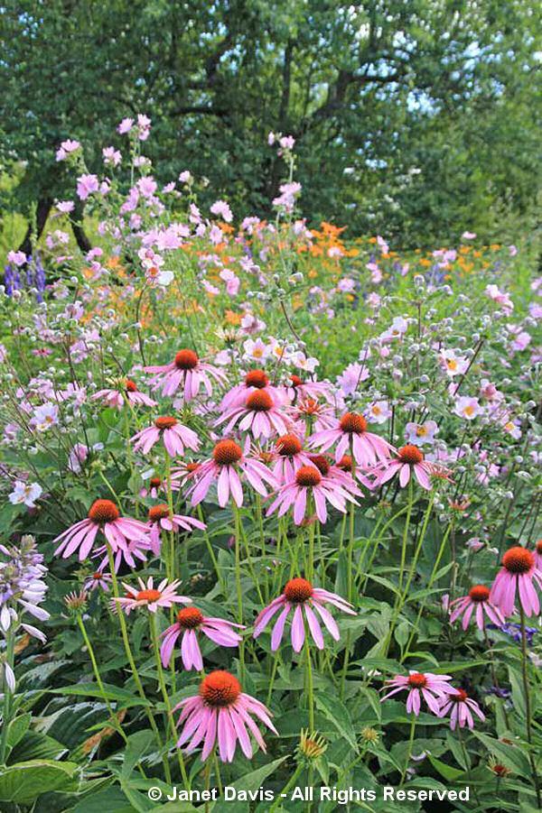 Echinacea-Partridge Garden