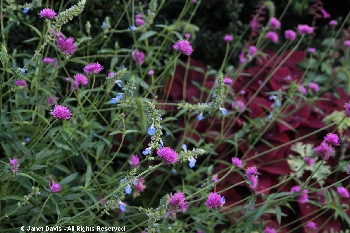 Gomphrena 'Fireworks' & Salvia azurea