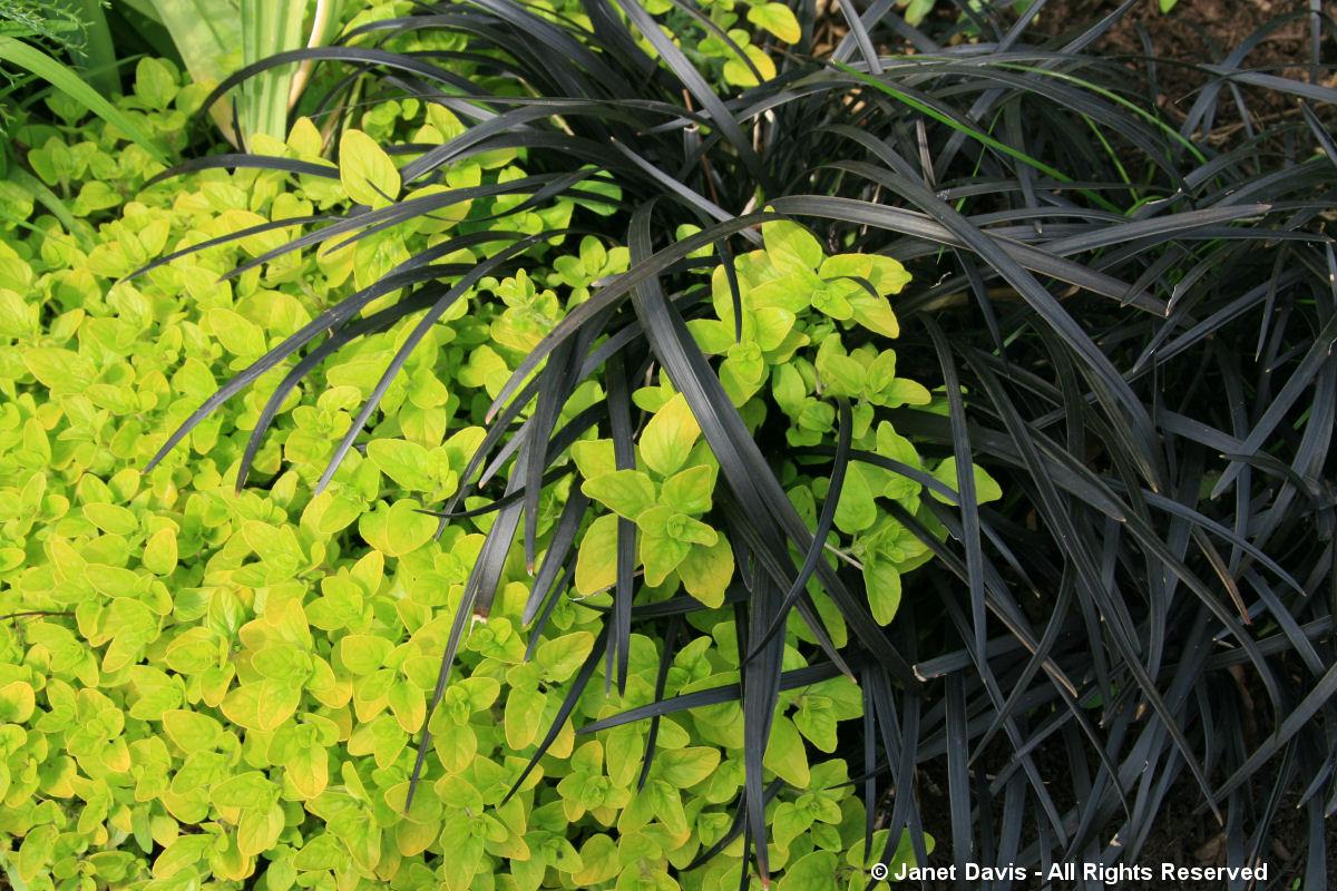 HCP-Ophiopogon & Origanum vulgare 'Aureum'