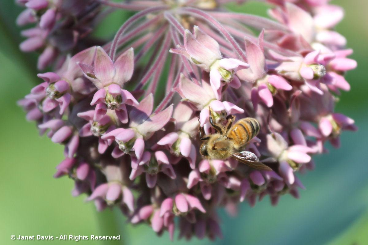 Milkweed-Honey Bee