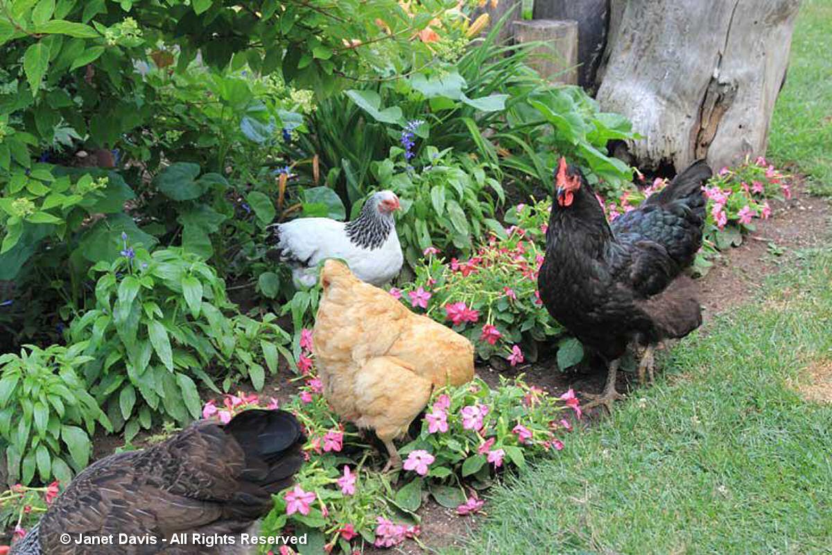 Partridge-Fancy Birds