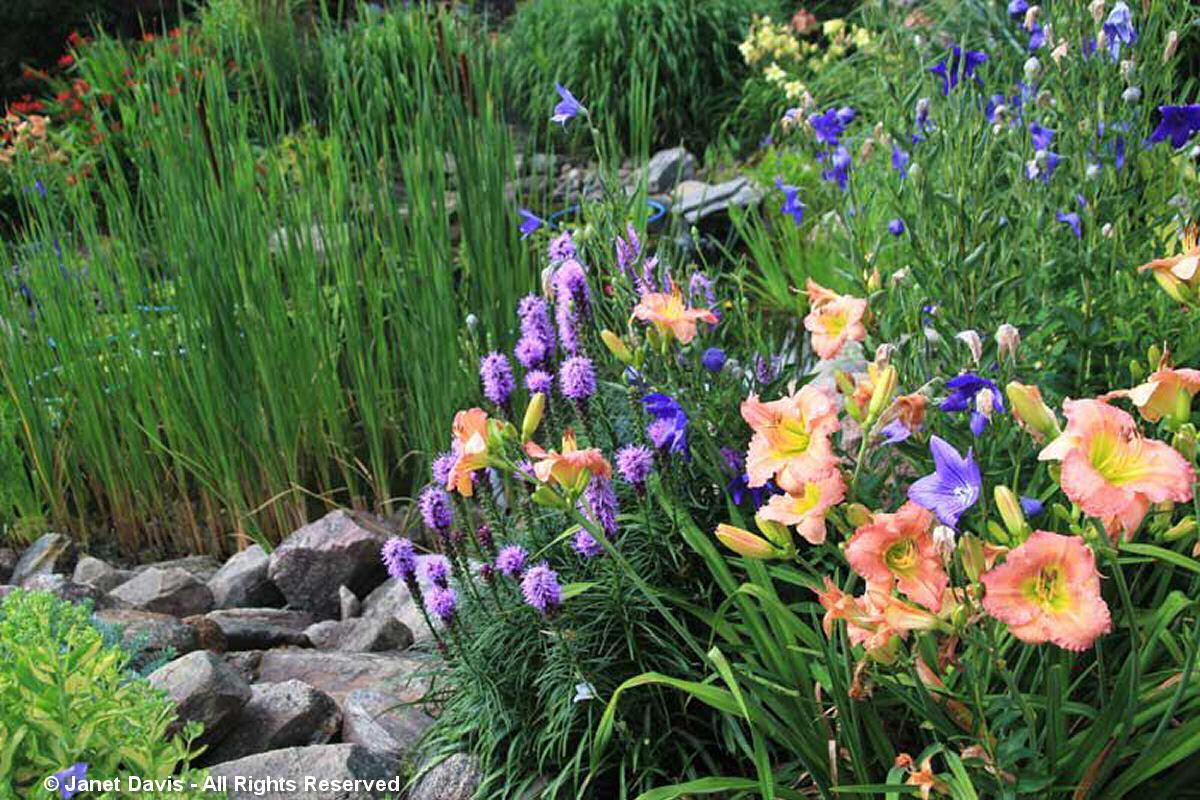 Suzann Partridge-Daylilies & Platycodon
