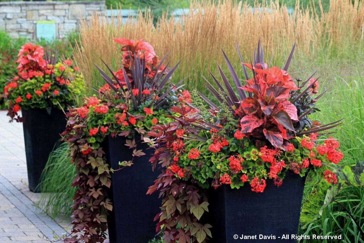 Toronto Botanical Gardes-Cordyline-Acalypha-Geranium-Ipomoea