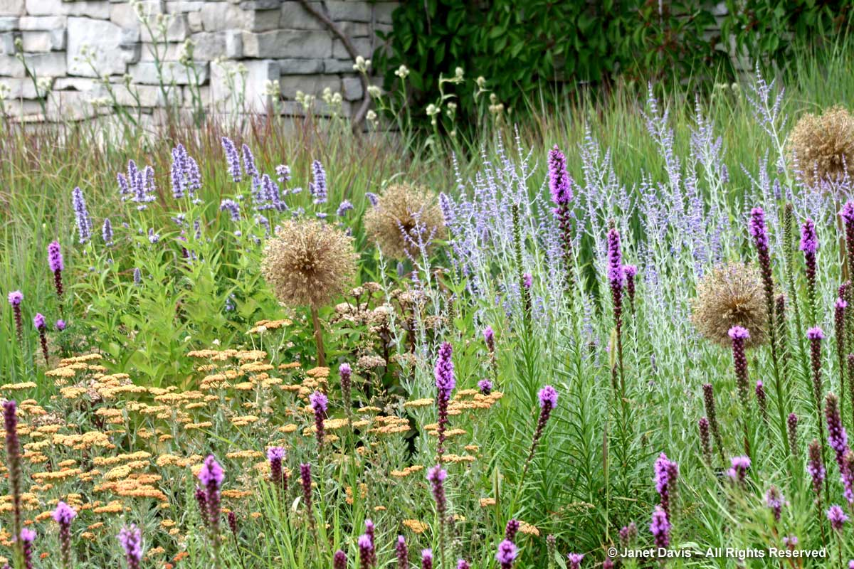 allium-seedheads-toronto-botanical-garden