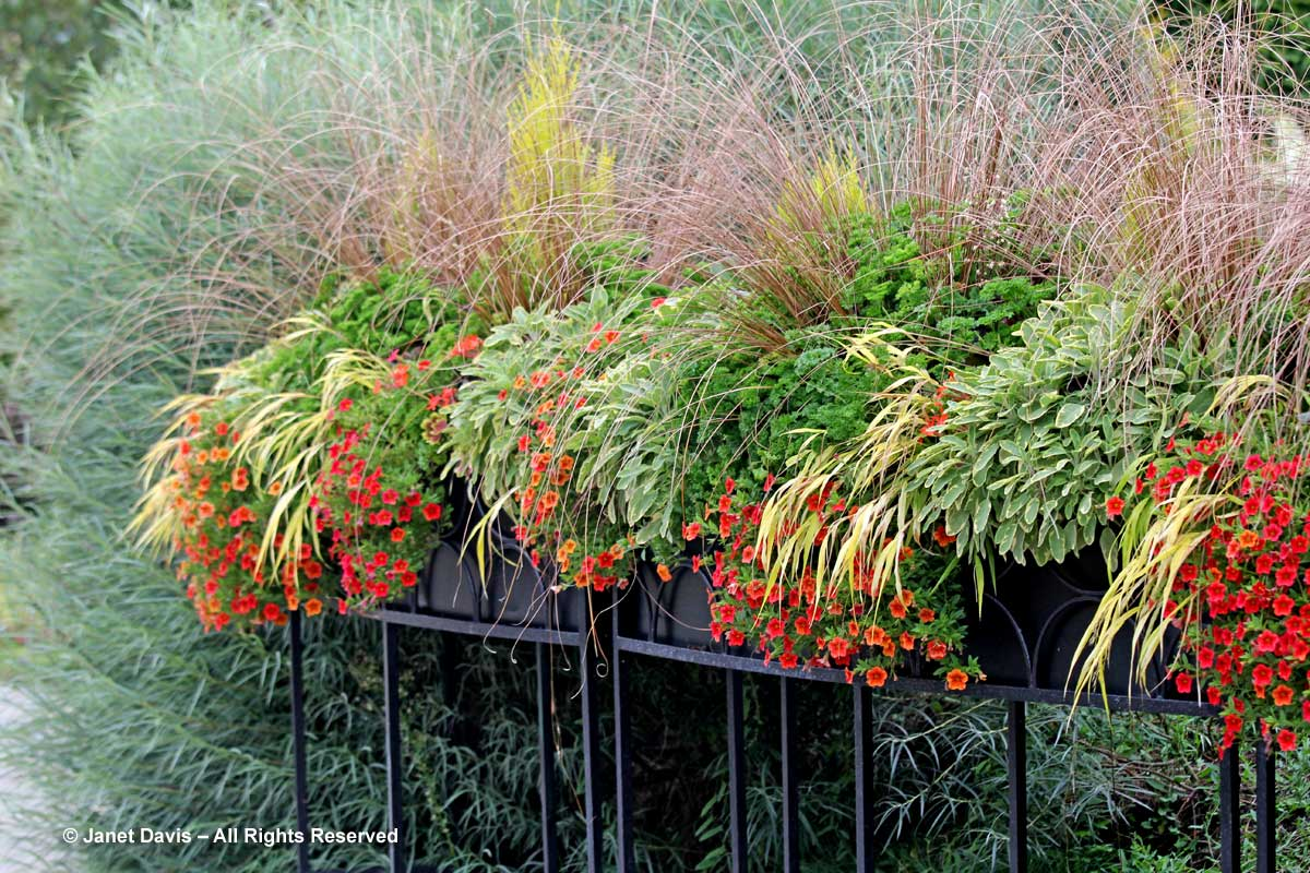 carex-buchananii-toronto-botanical-garden-planter