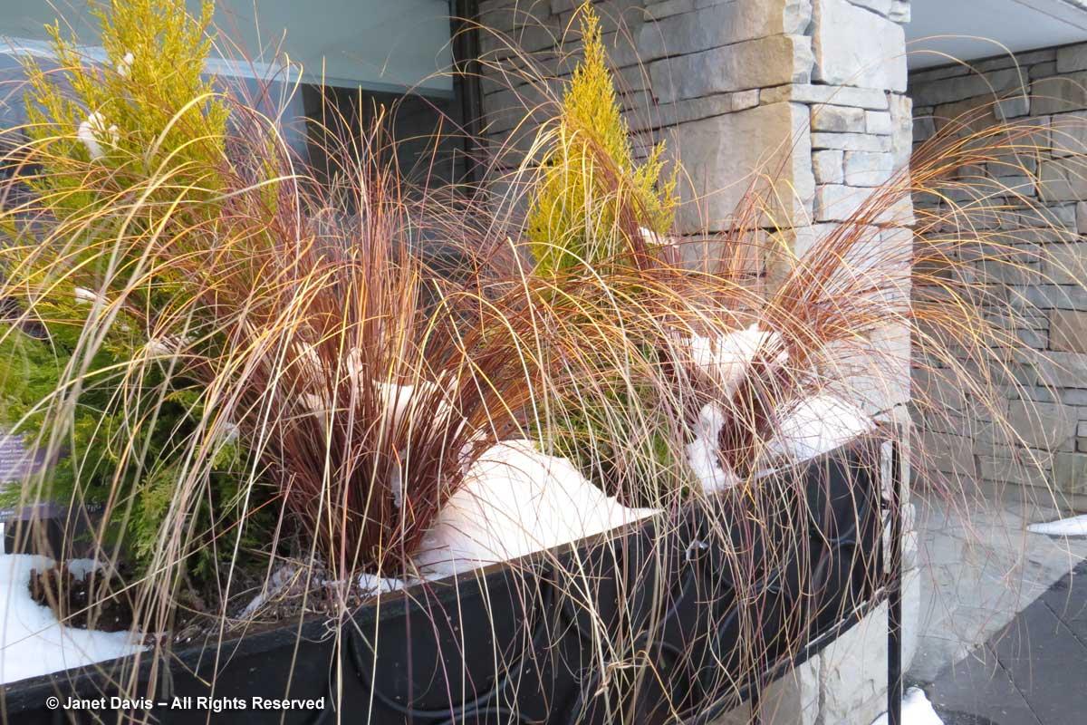 carex-buchananii-toronto-botanical-garden