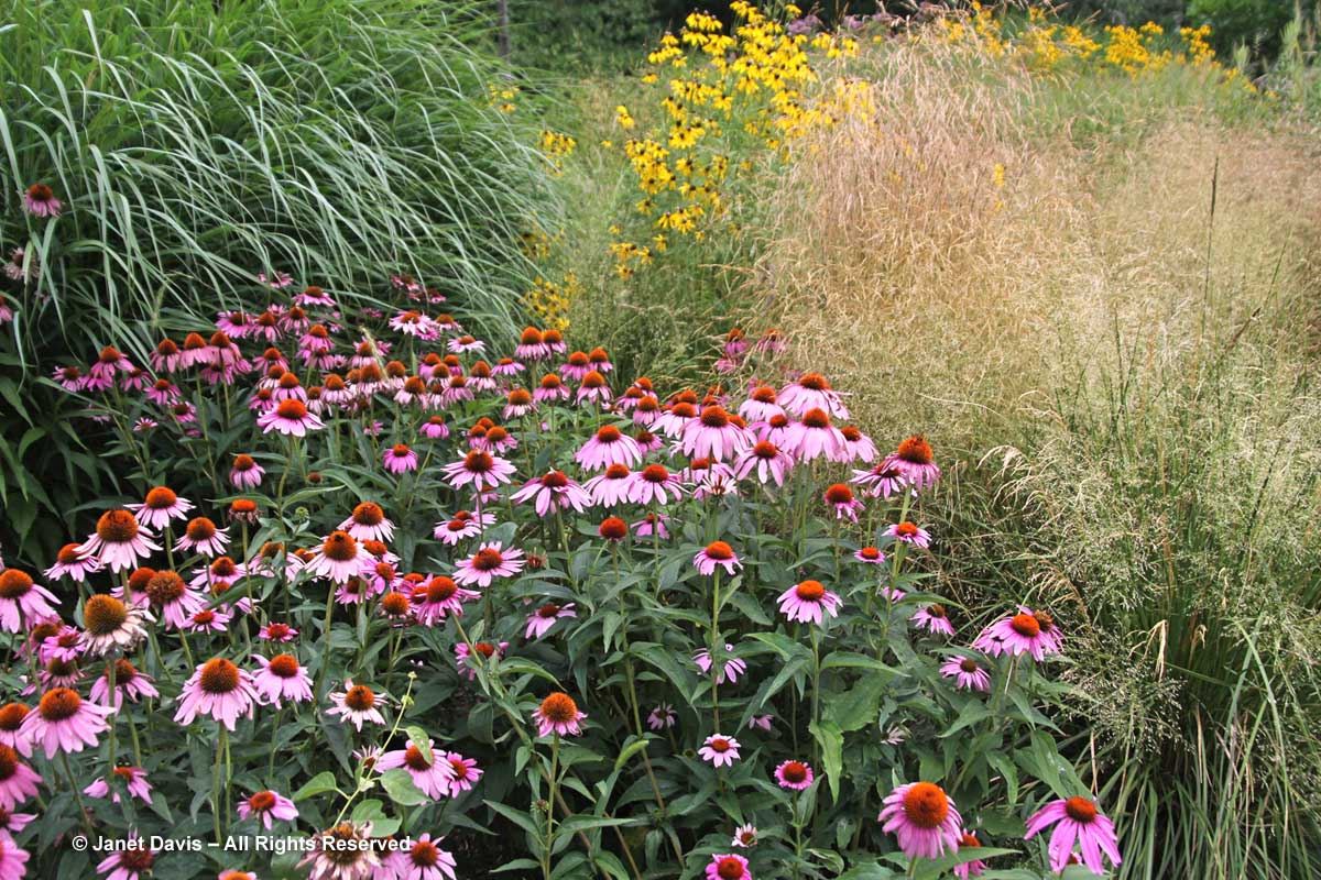 deschampsia-caespitosa-echinacea-royal-botanical-garden