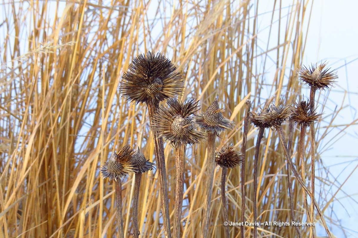 echinacea-seedheads