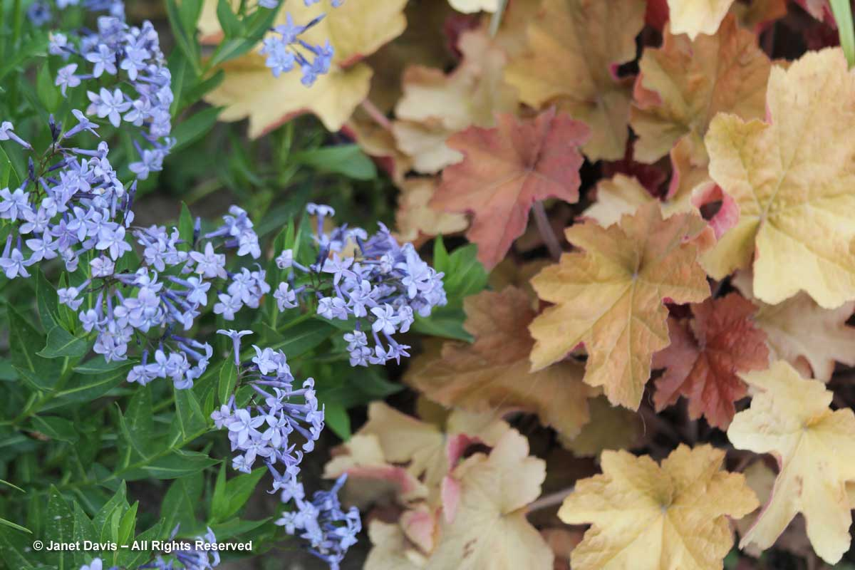 heuchera-amsonia-blue-star
