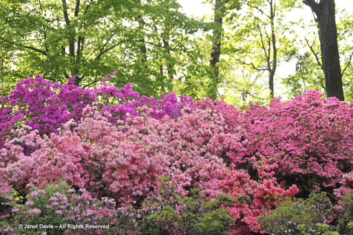 NYBG-Azalea Garden