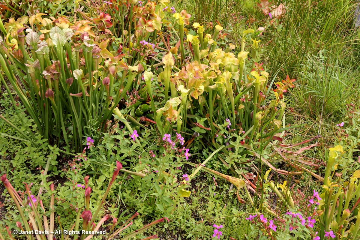 NYBG-Carnivorous-Plants