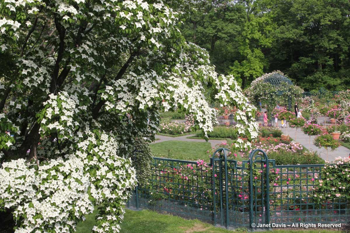 Nybg Peggy Rockefeller Rose Garden Janet Davis Explores Colour