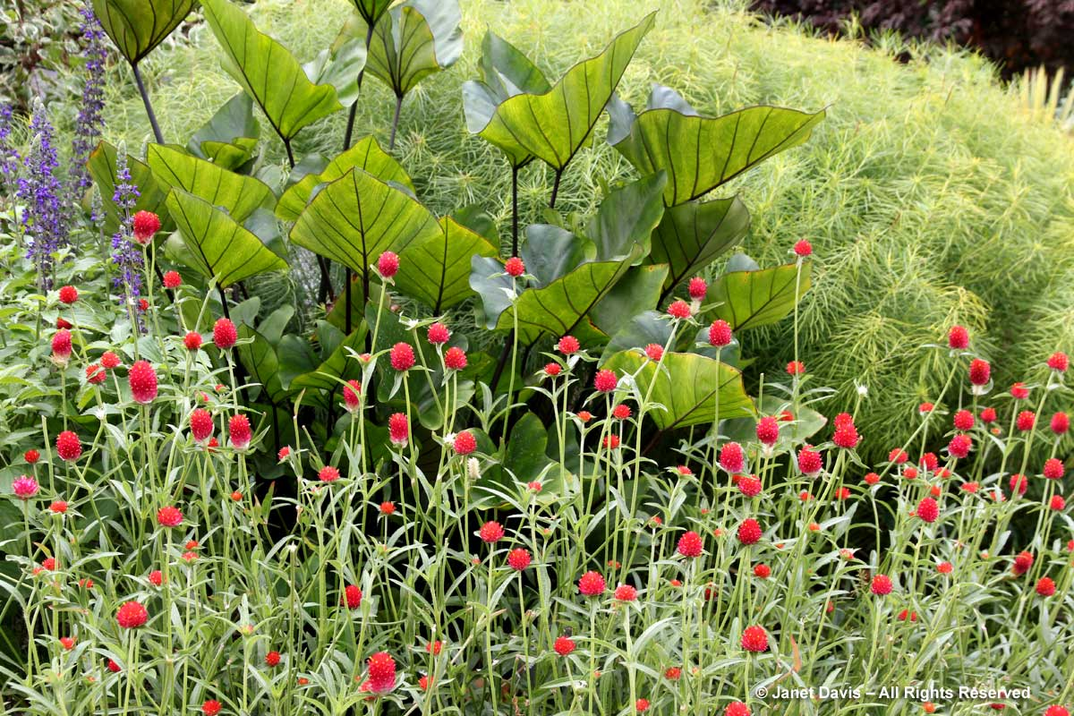 NYBG-Salvia-Gomphrena-Colocasia-Perennial Garden