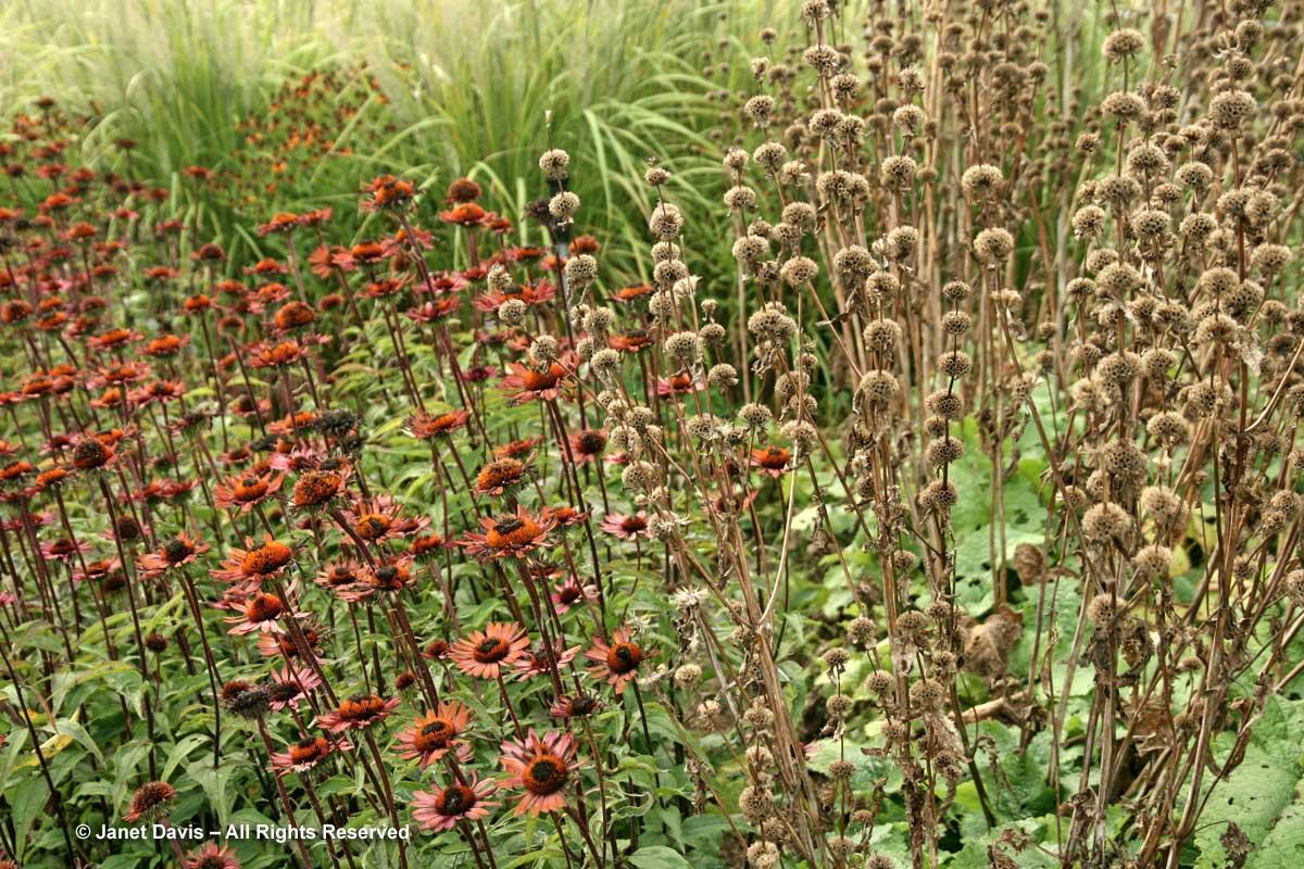 phlomis-tuberosa-amazone-seedheads