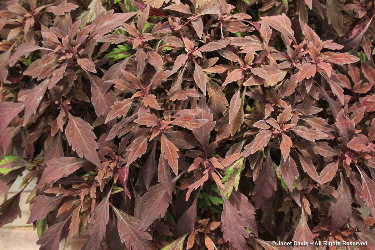 plectranthus-scutellarioides-velvet-mocha