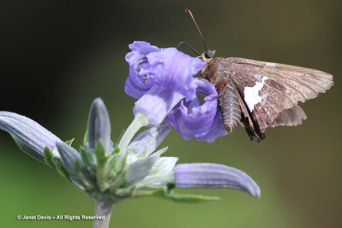 silver-spotted-skipper-epargyreus-clarus