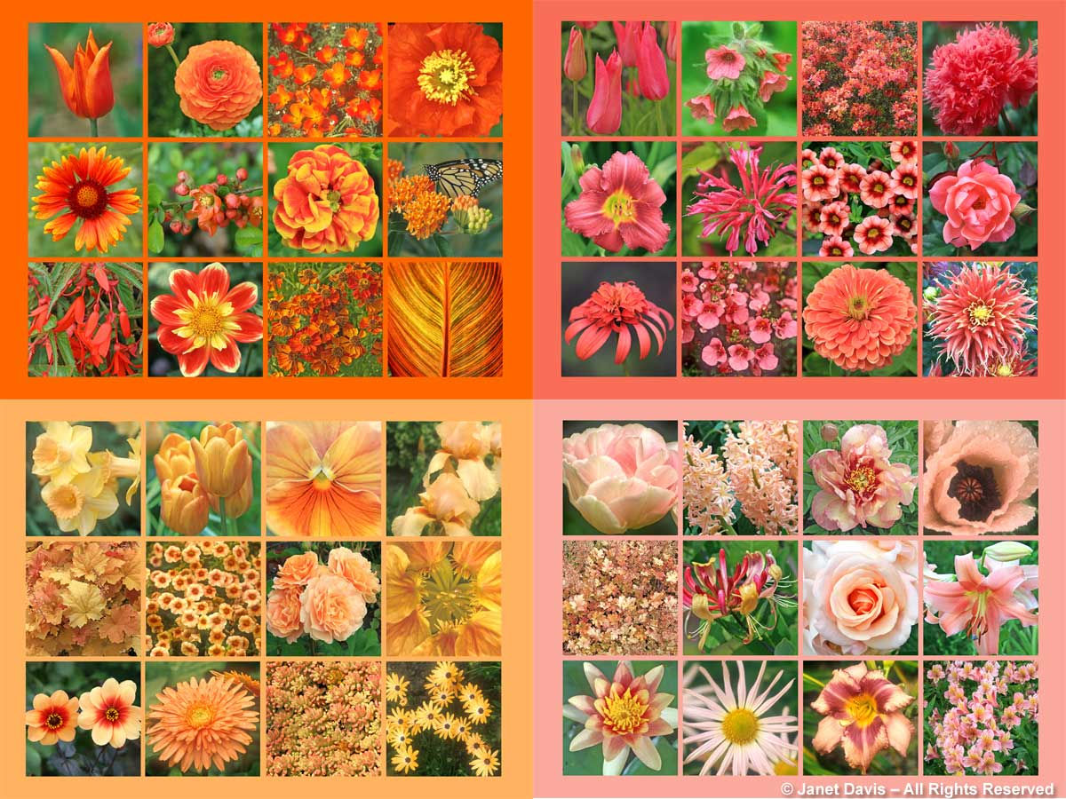 Orange Array: Tulipa 'Ballerina'; Florist's ranunculus (Ranunculus asiaticus); 'Red Chief' California poppies (Eschscholzia californica); Iceland poppy (Papaver nudicaule); 'Tokajer' blanket flower(Gaillardia x grandiflora); quince (Chaenomeles x superba); Potentilla 'William Rollson'; butterfly milkweed (Asclepias tuberosa); 'Bonfire' begonia (Begonia boliviensis); Dahlia 'Pooh'; Helenium autumnale 'Rubinzwerg'; Canna 'Phaison' Salmon Array: Tulipa 'Mariette'; 'Bowles Red' lungwort (Pulmonaria); 'Spicy Lights' azalea (Rhododendron); 'Venus' opium poppy (Papaver somniferum); 'Pardon Me' daylily (Hemerocallis); 'Coral Reef' beebalm (Monarda didyma); Calibrachoa 'Superbells Coralberry Punch'; Rosa 'Carefree Celebration'; Echinacea 'Secret Lust'; Diascia 'Darla Apricot'; Zinnia elegans 'Benary's Giant Salmon Rose'; Dahlia 'Bodacious' Peach Array: Tulipa 'Angelique'; Hyacinth 'Gipsy Queen'; Itoh Peony 'Kopper Kettle' (Paeonia); Oriental poppy 'Victoria Louise' (Papaver orientale); Heuchera 'Marmalade'; Dutch honeysuckle (Lonicera periclyneum 'Serotina'); Rosa 'Marilyn Monroe'; Lilium 'Visa Versa'; 'Comanche' waterlily (Nymphaea); Chrysanthemum 'Sheffield Pink' (Dendranthema ); daylily 'Designer Jeans' (Hemerocallis); Alstroemeria Apricot Array: Narcissus 'Fidelity'; Tulipa 'Cairo'; Pansy 'Imperial Antique Shades Apricot'; Iris 'Sunny Dawn': Heuchera 'Caramel'; Calibrachoa 'Superbells Peach'; Rose 'Honey Perfume'; Nasturtium 'Whirlybird Series' (Tropaeolum majus); Dahlia 'Sunshine'; Gerbera; Sedum rubrotinctum 'Aurora'; African daisy (Osteospermum 'Symphony Series Orange')
