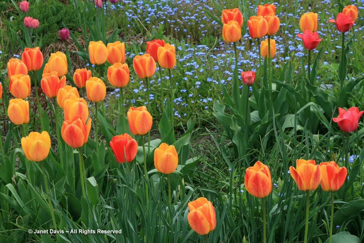 0-x-tulipa-beauty-of-apeldoorn-forget-me-nots