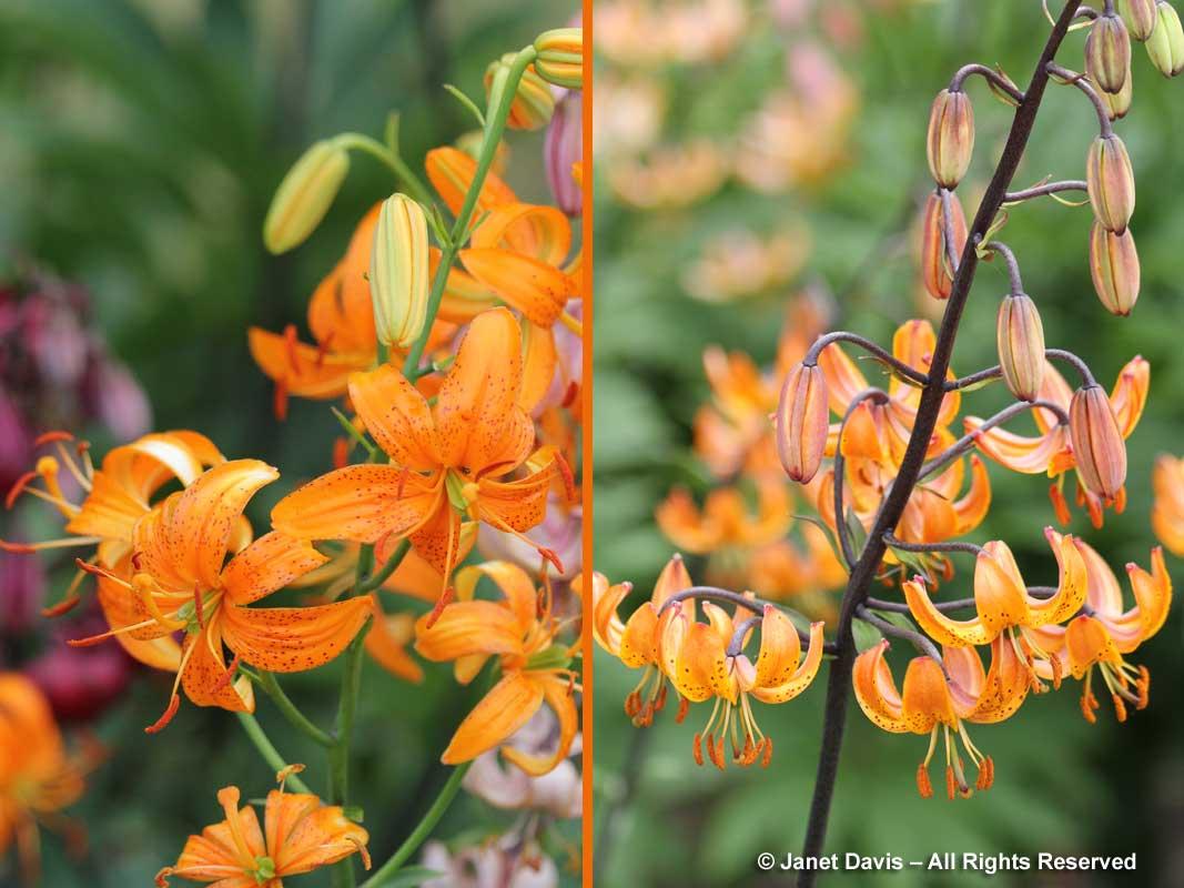 1-lilium-martagon-sing-out-burnt-orange
