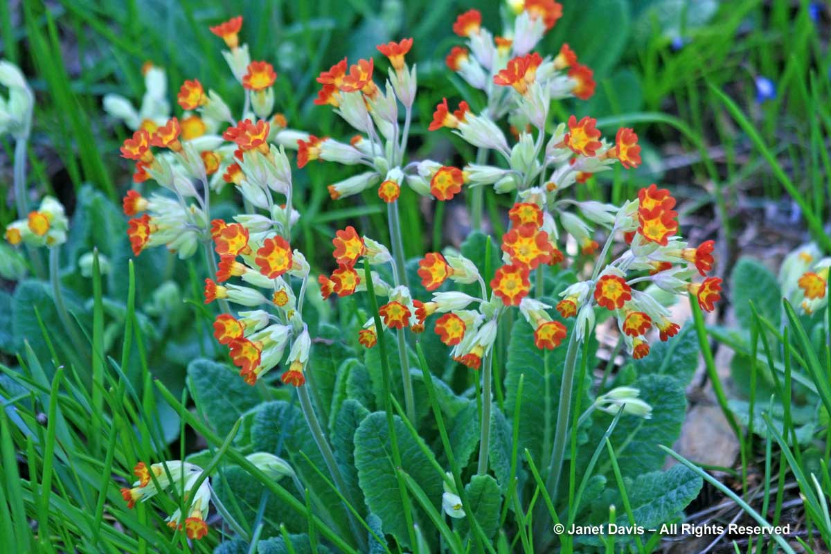 1-primula-veris-orange-form